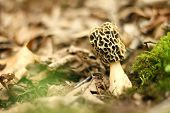 foto of morchella mushrooms  - A yellow Morechella Morel mushroom is growing in some moss and leaves on the Forest floor in Minnesota USA - JPG