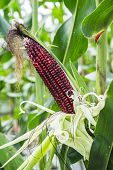 picture of corn stalk  - Cob corn on the stalk ready for harvest - JPG