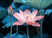 stock photo of lily  - blooming lotus flower - JPG