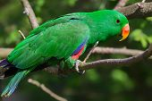 stock photo of king parrot  - Close - JPG