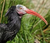 foto of hermit  - Portrait view of a Hermit Ibis  - JPG