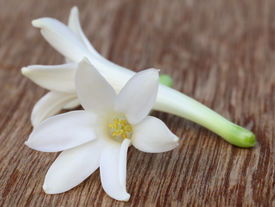 picture of tuberose  - Close up of Tuberose or Rajnigandha of Southeast Asia - JPG