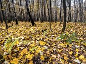stock photo of dead plant  - Forest in autumn with dead leaves lying on the ground - JPG