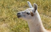 pic of lamas  - Chewing white lama in the Andes mountains Argentina - JPG