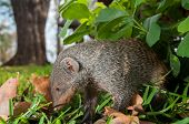 image of tame  - A tame mongoose up close to the camera slightly under a shrub and looking around for something to eat - JPG