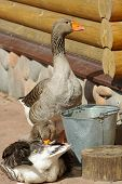 Domestic Grey Gooses On Farmyard poster
