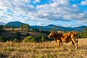 image of zebu  - Brown cow in a rural landscape near Nimbin - JPG