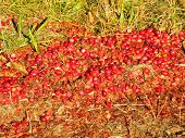 stock photo of northeast  - Cranberries located at a cranberry bog in the northeast during fall foliage season - JPG
