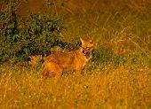 stock photo of jackal  - A Golden jackal in India, looking round.