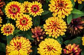 stock photo of zinnias  - Zinnia elegans  - JPG