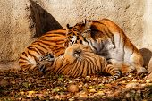 image of tiger cub  - The tiger mum in the zoo with her tiger cub - sunny photo