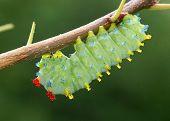 stock photo of chrysalis  - Cecropia Moth caterpillar - JPG