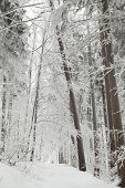 foto of alder-tree  - Winter scenery of a forest trail among frozen trees on a frosty January day - JPG