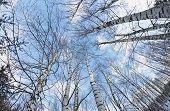 pic of birchwood  - birchwood trees against the blue sky - JPG