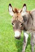picture of donkey  - Small sweet donkey in a field  - JPG