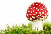 stock photo of agar  - Fly agaric or fly Amanita mushroom Amanita muscaria  - JPG
