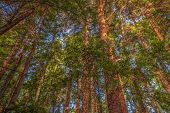 pic of redwood forest  - Color image of redwood trees - JPG
