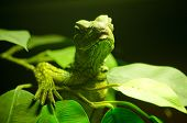 stock photo of monitor lizard  - green lizard is sleeping on the tree  - JPG