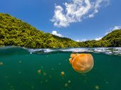 image of jellyfish  - Split photo of endemic golden jellyfish in lake at the Republic of Palau - JPG