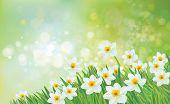 image of daffodils  - Sunny - JPG
