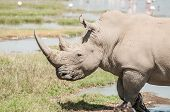 foto of animal nose  - A white rhinoceros walks through the shallow waters of the edge of lake Nakuru in Kenya. The huge horn on her nose is clearly vissible. ** Note: Shallow depth of field - JPG