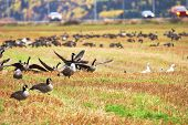 image of snow goose  - Canadian and Snow geese landing in a field close to the road - JPG