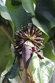 image of banana tree  - daylight photos of the red banana tree - JPG