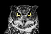 stock photo of owl eyes  - Great horned owl Bubo virginianus in black and white except yellow eyes - JPG