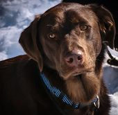 stock photo of chocolate lab  - Young male chocolate lab taking a break from playing in the snow - JPG