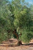 pic of kalamata olives  - Olive tree under bright sunlight - JPG