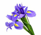 stock photo of purple iris  - purple iris flower isolated on white background - JPG