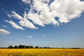 image of rape-seed  - Rape field and blue sky with clouds - JPG