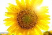 stock photo of photosynthesis  - Backlighting Sunflower Detail Macro shot - JPG