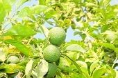 picture of orange-tree  - Green unripe Orange fruit on a branch. Orange garden. Orange trees with fruits on plantation.