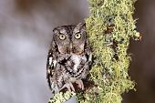 image of lichenes  - Eastern Screech Owl perches on lichen covered branch