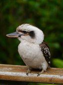 stock photo of kookaburra  - The Laughing Kookaburra  - JPG