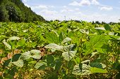 picture of soybeans  - Soybean field on a background of forest - JPG