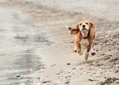 stock photo of little puppy  - Beagle puppy running on the sea beach - JPG