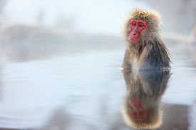 stock photo of macaque  - Snow Monkey Japanese Macaques bathe in onsen hot springs at Nagano - JPG