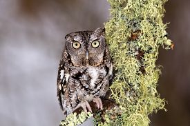 image of screech-owl  - Eastern Screech Owl perches on lichen covered branch  - JPG