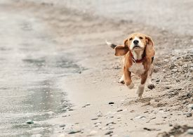 stock photo of little puppy  - Beagle puppy running on the sea beach - JPG