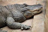 pic of crocodilian  - American alligator  - JPG