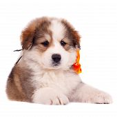 Small Furry Puppy poster