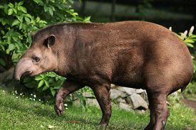 picture of terrestrial animal  - South American tapir  - JPG