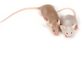 pic of fancy mouse  - two fancy mice in love over white - JPG