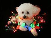 A beautiful Bichon Frise Dog sits against black velvet white colored Christmas lights. Christmas Lig poster