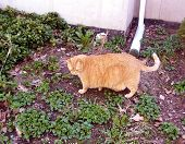 stock photo of wanton  - Large adult orange cat shows off body for the camera - JPG