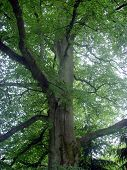 Old Scottish Beech Tree 2 poster