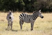 The Grevy s zebra (Equus grevyi), sometimes known as the imperial zebra, is the largest species of zebra. It is found in the masai mara reserve in kenya africa poster