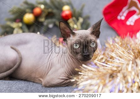 poster of Cat Of Breed The Canadian Sphynx Among The Tinsel ,bald Cat , Cat Face, Cat Eye